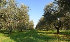 Chorvatsko, olej, Istra, olivy